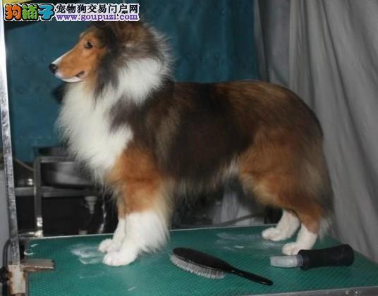 杭州喜乐蒂犬出售 杭州喜乐蒂犬价格 哪里有卖喜乐蒂