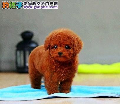 乌鲁木齐纯种泰迪幼犬大毛量好脸型保健康纯种可送