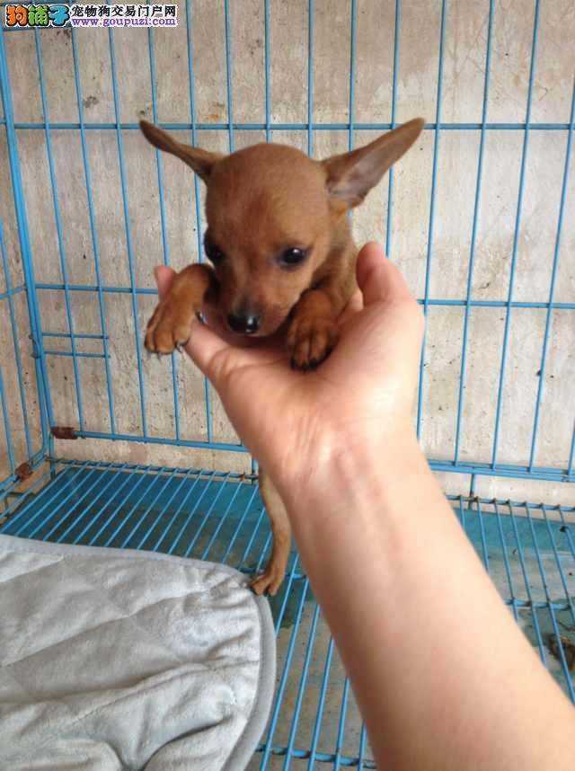 北京出售小鹿犬幼犬品质好有保障国外引进假一赔百