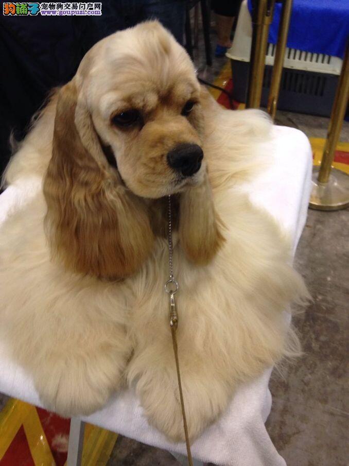 延庆县上门犬业出售可卡犬/当天全款包邮·送货上门