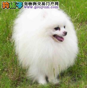 如何区分可爱的博美犬与串串之间的不同