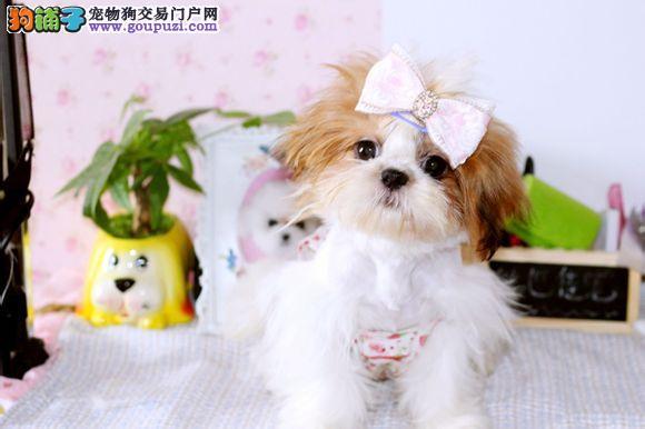 精品西施犬幼犬一对一视频服务买着放心提供护养指导