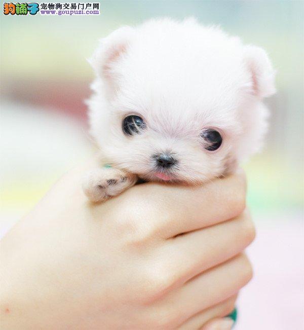小小茶杯犬快来看看自家出生的小泰迪熊吧