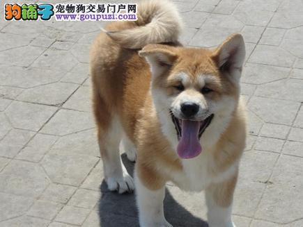 自家繁殖日本柴犬 保纯种保健康 可视频看狗 签协议4