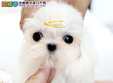 深圳哪里有狗场繁育出售精品马尔济斯犬1