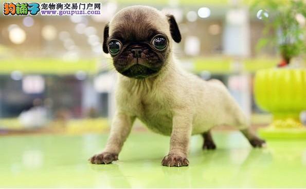 北京憨厚可爱的小巴哥幼犬 保纯保健康 做疫苗特价销售