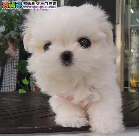 出售纯种健康的马尔济斯幼犬赛级品质保障
