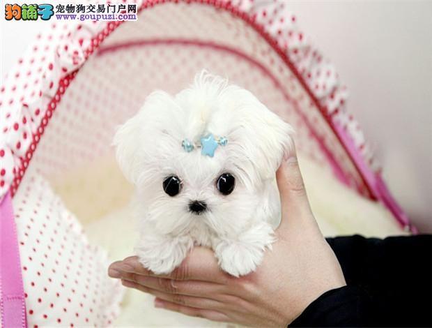广州哪里有大型狗场 一般都去哪里买宠物狗马尔济斯犬