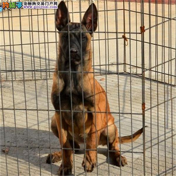 CKU认证犬舍 专业出售极品 马犬幼犬包头地区可包邮