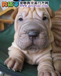 太原热销沙皮狗颜色齐全可见父母赠送全套宠物用品