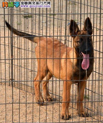 阜阳市出售马犬幼犬 公母都有 疫苗齐全 可视频看狗