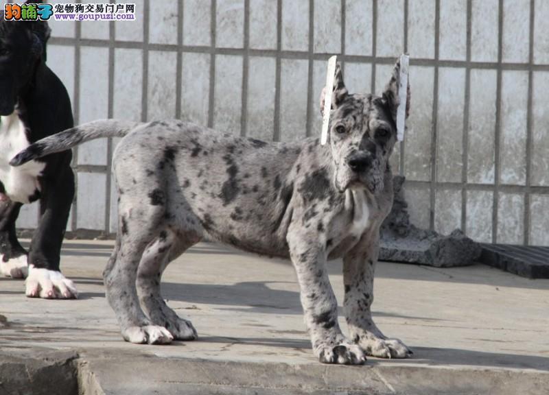 自家狗场繁殖直销大丹犬幼犬赠送全套宠物用品3