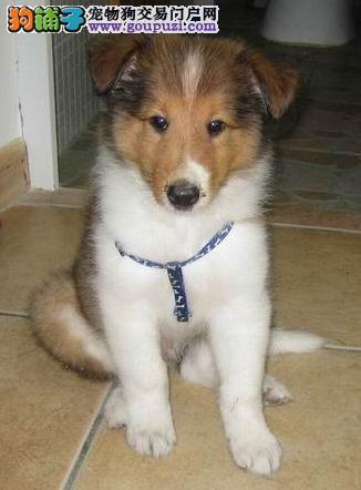 专业繁殖苏牧幼犬特价出售机灵