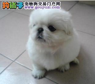 青岛纯种宫廷京巴狗幼犬出售 保质保健康 有协议有保障