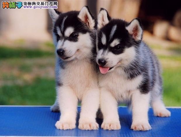 大理州自家繁殖二哈出售蠢萌气质哈士奇温顺开朗家庭犬4