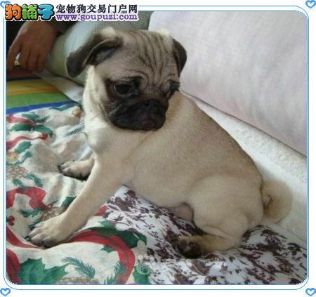 南京出售个性温顺巴哥犬 南京有卖巴哥图片 包纯种健康