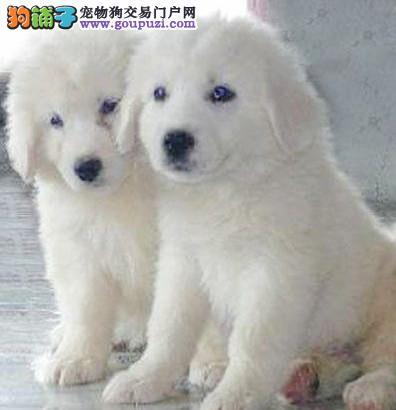 有卖纯种的大白熊犬的吗 大白熊价格 多少钱