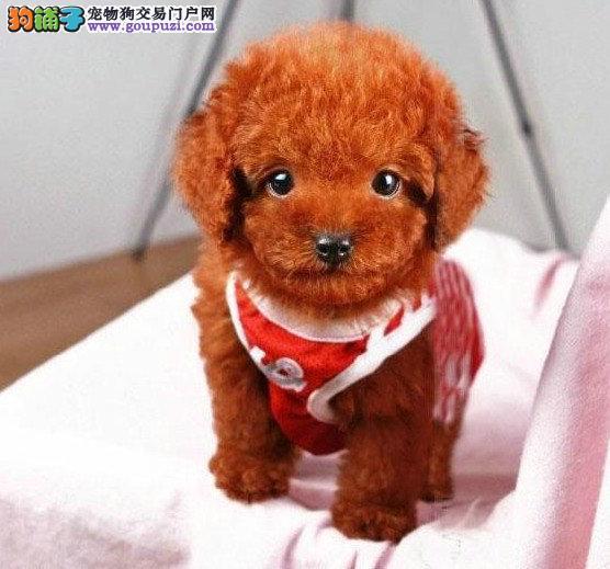 颜色全品相佳的泰迪犬热卖中 贵阳周边地区免费送货1