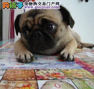 北京出售巴哥犬 纯种幼犬 疫苗做完 健康100%