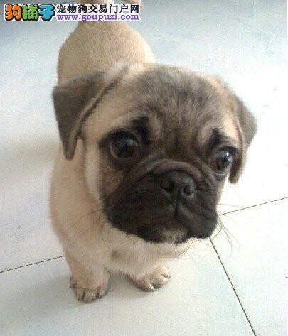 南宁精品巴哥犬出售质优价廉品质三包签协议欢迎视频挑