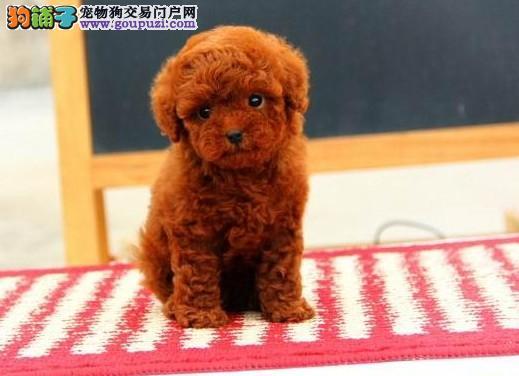 重庆自家繁育玩具犬泰迪犬 颜色多种可选健康好养活