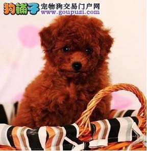 极品韩国血统泰迪犬特价转让 欢迎来广州犬舍购买1