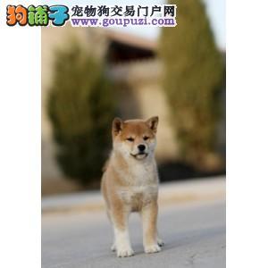 潍坊市出售柴犬幼犬 可爱呆萌的柴犬 可视频看狗 纯种