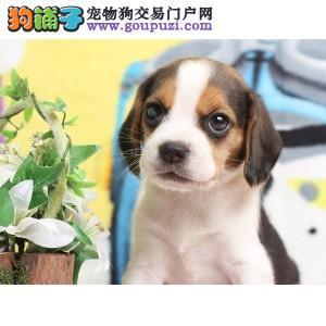 CKU注册犬业出售双冠赛级比格幼犬 质保三年签协议