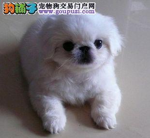 权威机构认证犬舍 专业培育京巴幼犬多种血统供选购