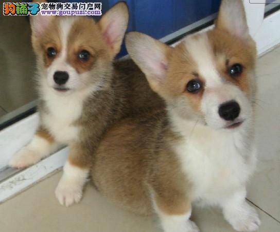 武汉自家狗场繁殖直销柯基幼犬欢迎爱狗人士上门选购