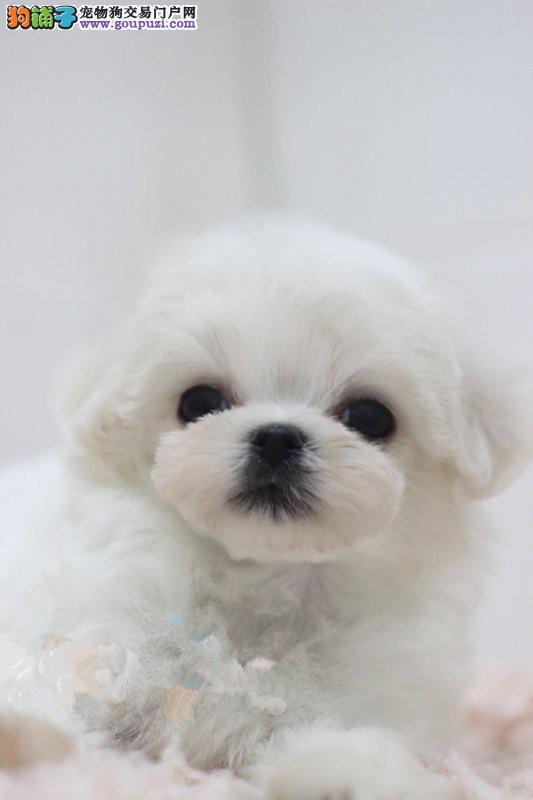 CKU犬舍认证出售高品质哈尔滨马尔济斯当日付款包邮3