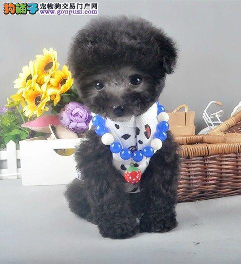 精品茶杯犬小体犬健康质保签协议送货上门图片