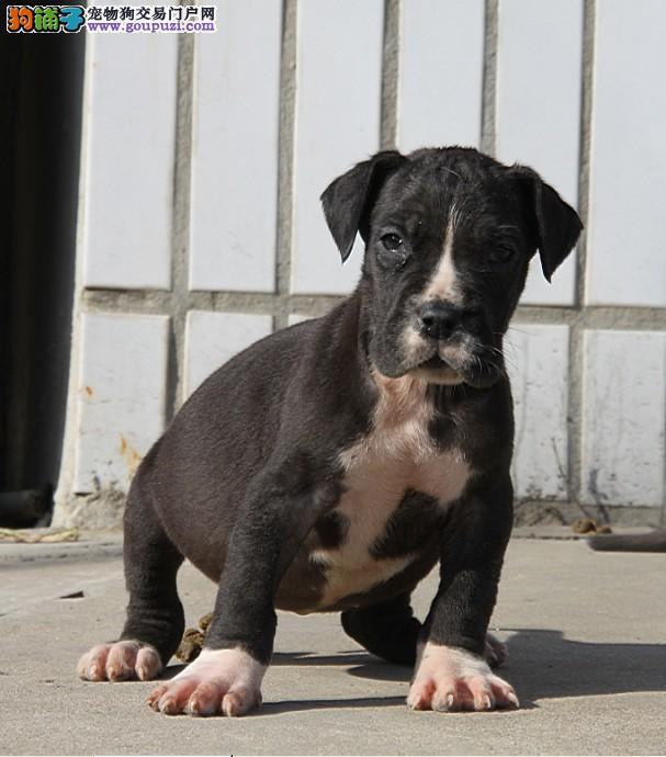 纯种大丹犬幼犬 纯度第一价位最低 购买保障售后