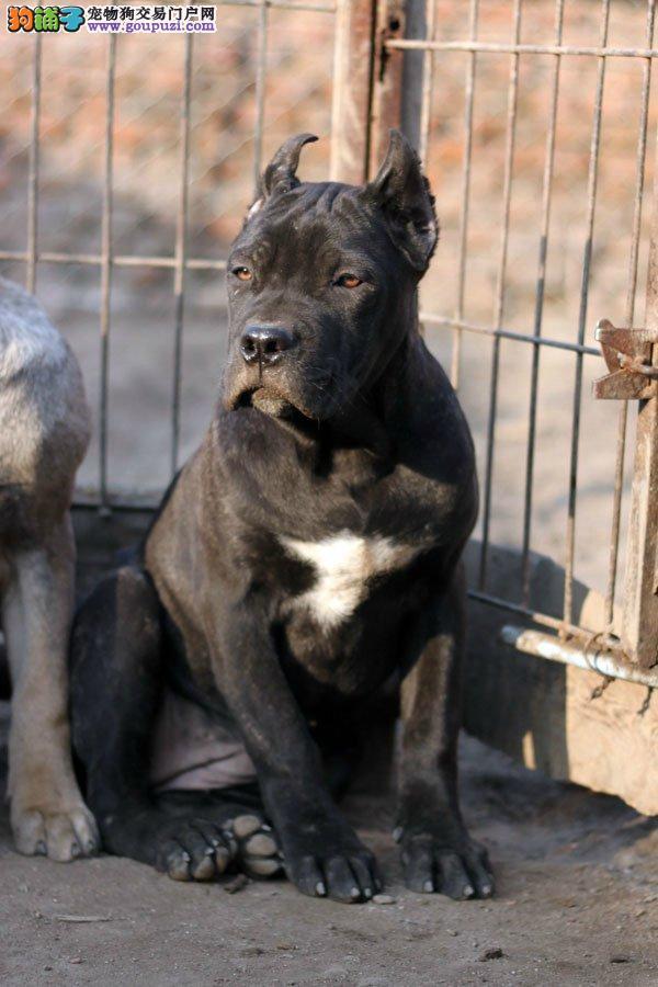 纯种意大利卡斯罗犬价格高品质可上门挑选可签订协议