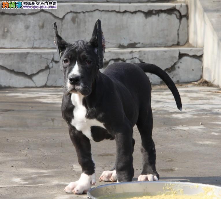 高端大丹犬幼犬、顶级品质专业繁殖、当天付款包邮