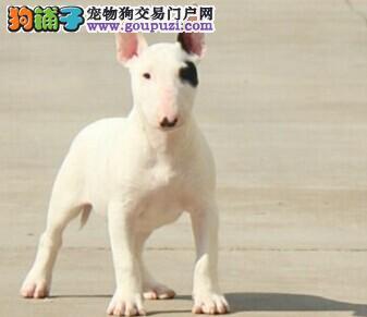 徐州繁殖可爱的海盗眼牛头梗幼犬 短毛纯白牛头梗犬