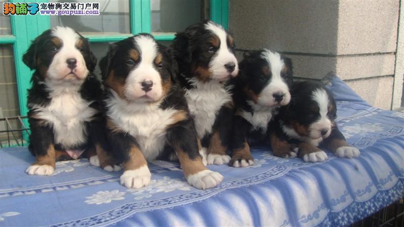 武汉出售伯恩山幼犬保纯保健康疫苗驱虫已做签协议