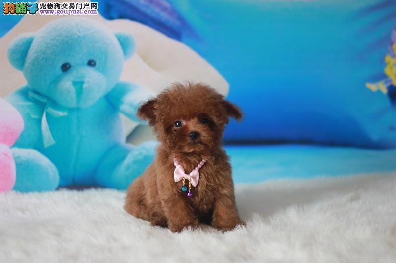 上海市出售茶杯犬幼犬三个月包退换质保三年带血统证书