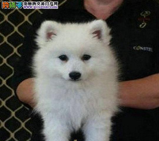 银狐犬的皮肤发红,有脓包要如何治疗