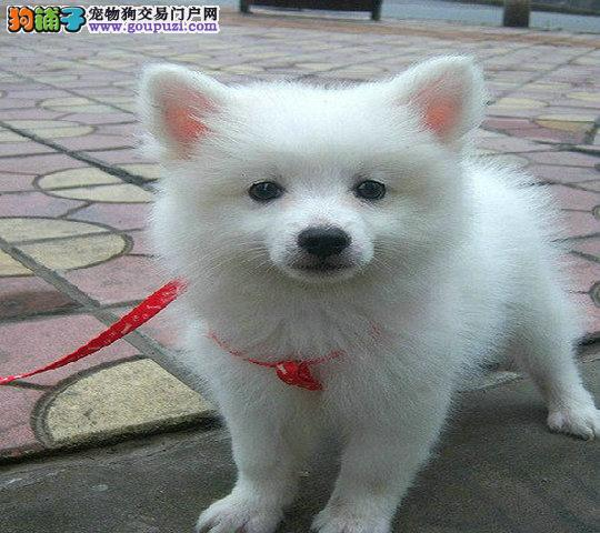 银狐犬最近拉果冻状的便便是怎么回事