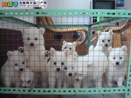南京市出售纯种银狐犬 保纯保健康 质量三包 完美售后