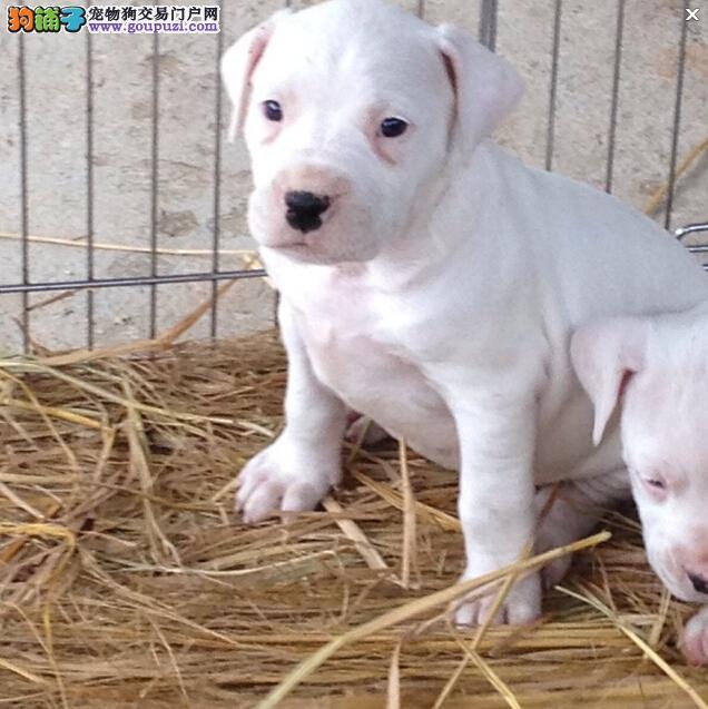 海北州售优质杜高犬幼犬 阿根廷獒犬幼犬防疫已做可挑