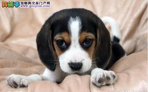 南宁养殖场直销完美品相的比格犬我们承诺终身免费售后
