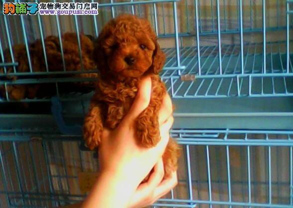 上海嘉定区哪里卖泰迪犬 欢迎来我狗场 颜色体型齐全