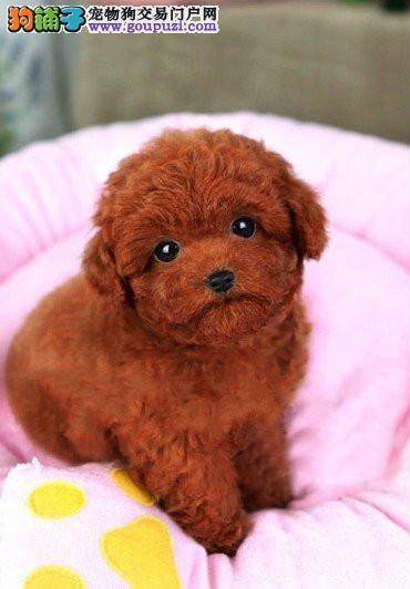 广州哪里有卖泰迪广州哪里有专业养狗场