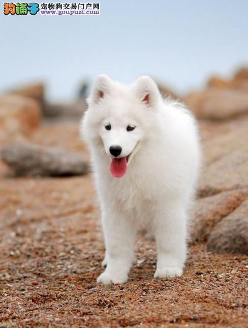 基地出售2-4个月纯种银狐犬 保纯保健康