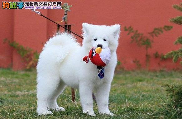 繁殖基地出售纯种宠物犬日本银狐宝宝.售后包健康2