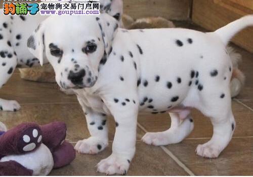 柳州出售高品质大麦町幼犬 可爱猛犬斑点狗