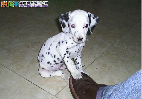 郑州精品斑点犬 保纯保健康 疫苗和驱虫均已做完