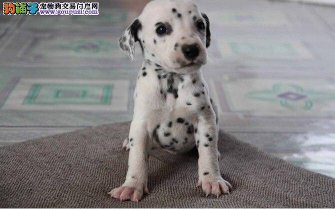斑点狗幼犬出售 疫苗齐全 协议质保 终身售后 包养活